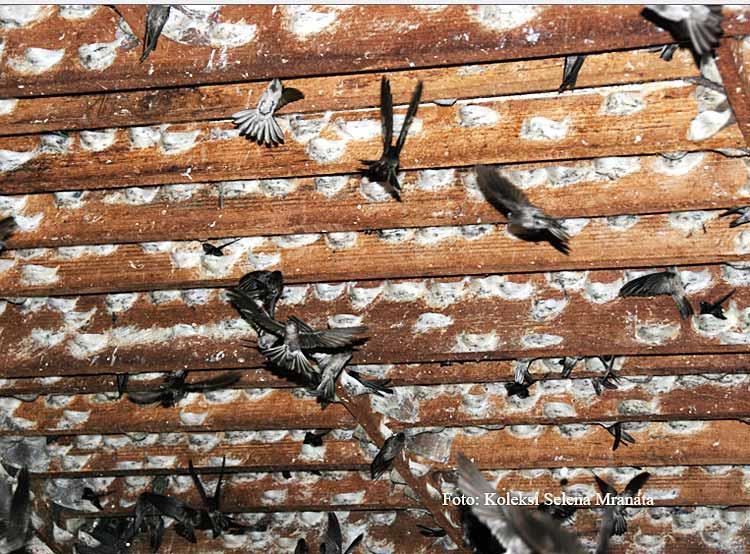 Ketahuilah Manfaat Sarang Burung Walet Bagi Kesehatan Ini
